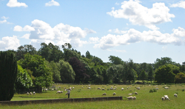 Glyndebourne sheep (1 of 1)