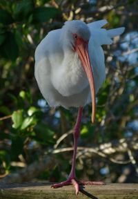 Wise_old_ibis1_2